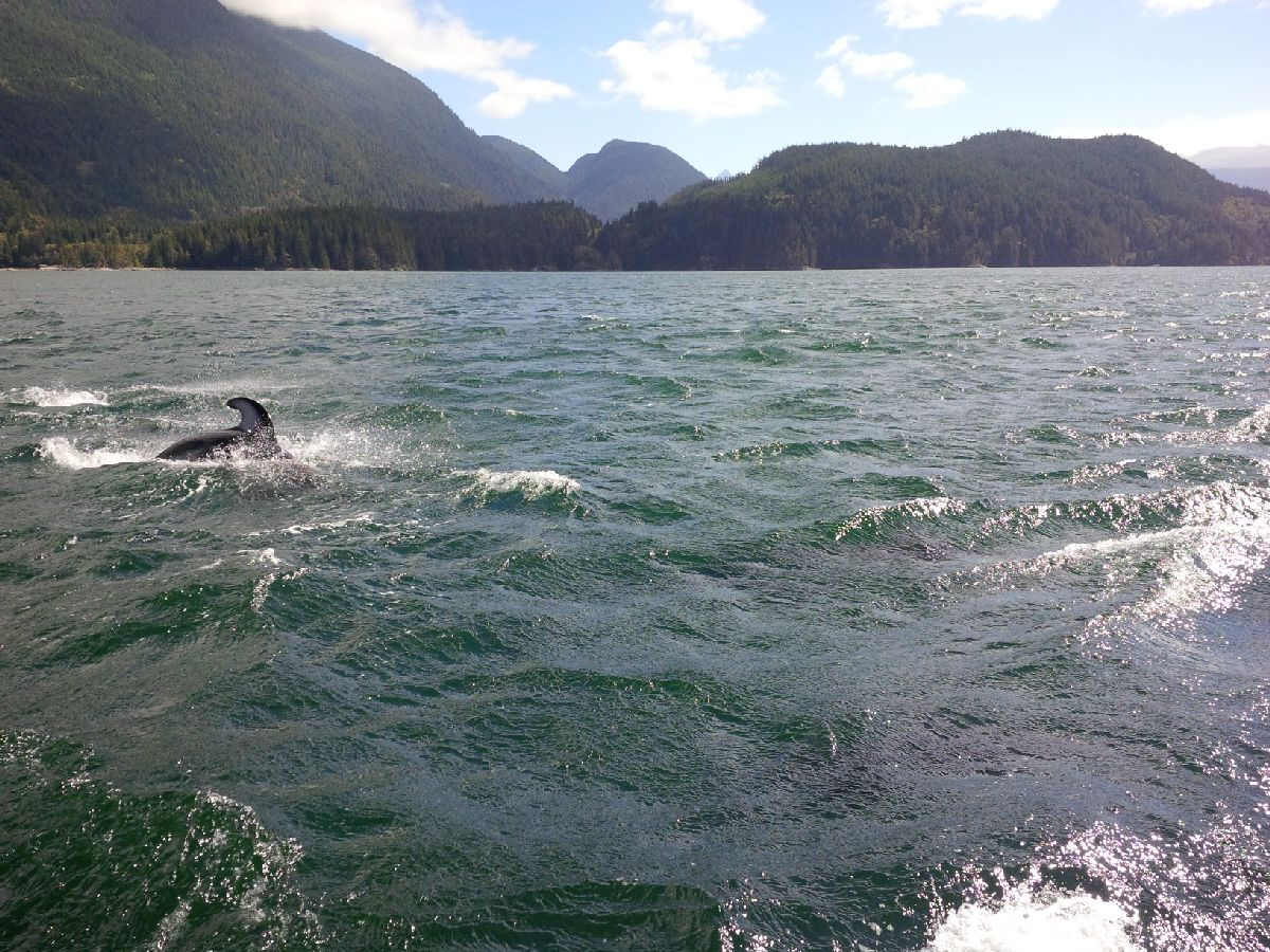 Dolphin with only fin showing swimming in the pacific ocean